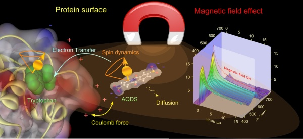 Magnetic Field Effect on AQDS/Lysozyme System